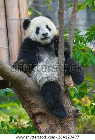 Giant panda in tree - stock photo