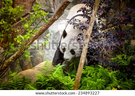 Giant panda in zoo - stock photo