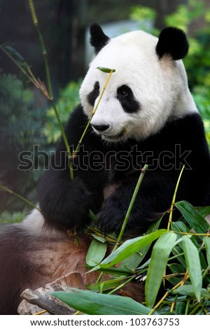 Giant Panda is enjoying his lunch - stock photo