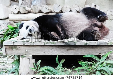 Giant panda is sleeping on the wooden bed in  Thai zoo. - stock photo