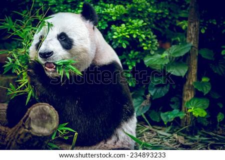 Giant panda looking at camera - stock photo