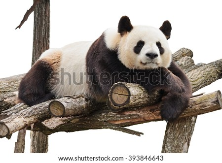 Giant panda looking at camera and lying on wood flooring isolated on white background. - stock photo