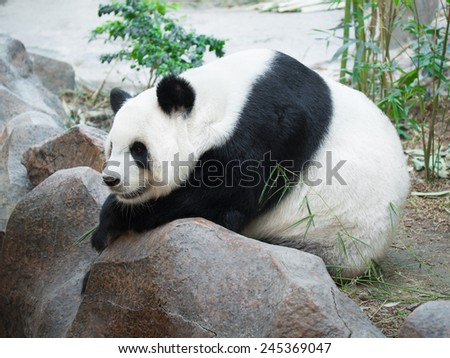 Giant Panda lying on a rock resting on the background of reeds - stock photo