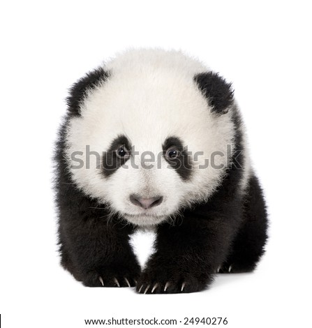 Giant Panda  (4 months)  - Ailuropoda melanoleuca in front of a white background - stock photo
