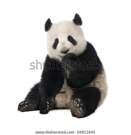 Giant Panda  (18 months)  - Ailuropoda melanoleuca in front of a white background - stock photo