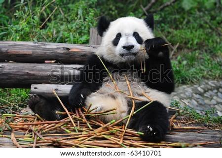 Giant panda posing for camera and eating bamboo - stock photo
