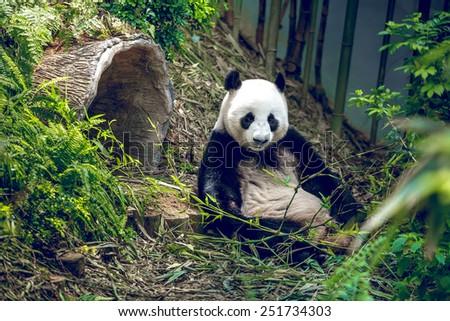 Giant panda relaxing - stock photo