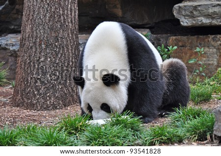Giant Panda sitting up, looking on the toy. Australia, Adelaide zoo - stock photo