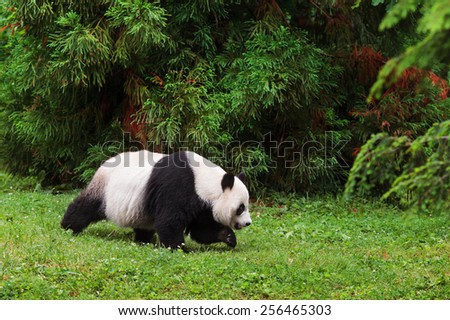 Giant Panda walking. - stock photo