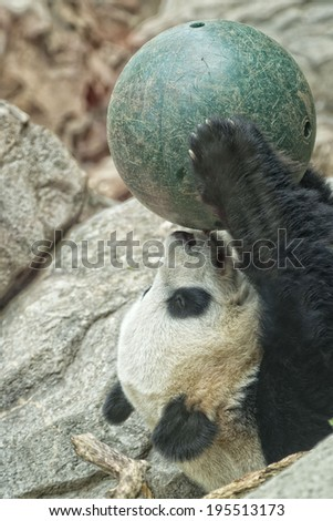 giant panda while playing with a ball close up portrait - stock photo