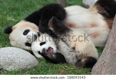 Giant panda with its cub Cuddle lying on the grass - stock photo