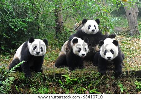 Giant pandas posing for camera - stock photo