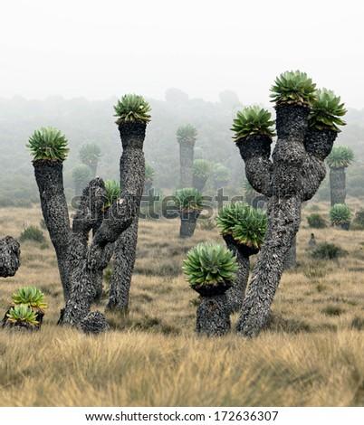 Giant plants (Senecio kilimanjari) near the camp Horombo (3700 m) on the slope of mount Kilimanjaro - Tanzania - stock photo