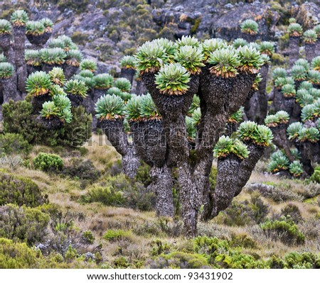 Giant plants (Senecio kilimanjari) near the camp Horombo (3700 m) on the slope of mount Kilimanjaro - Tanzania - stock photo