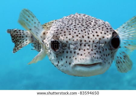 Giant Porcupine Puffer fish - stock photo