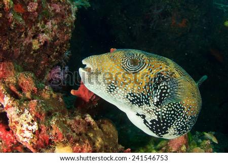 Giant Puffer fish - stock photo