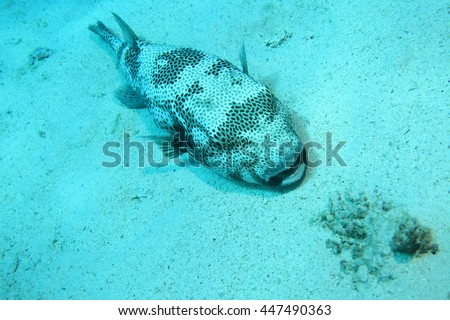 Neurotoxin stock photos images pictures shutterstock for Giant puffer fish