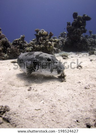 Giant puffer fish on sand - stock photo