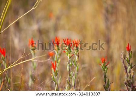 Giant Red Indian Paintbrush (Castilleja miniata) at Mono Lake Tufa State Natural Reserve - stock photo