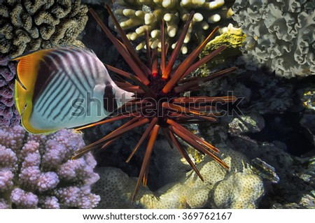 Giant Red Sea Urchin. - stock photo