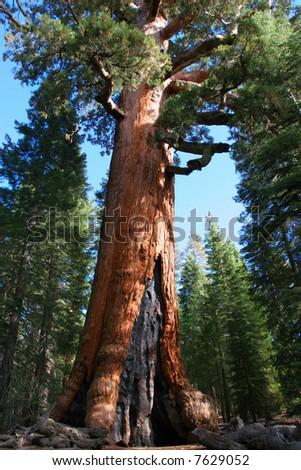 Giant Sequoia in Mariposa Grove, Yosemite - stock photo