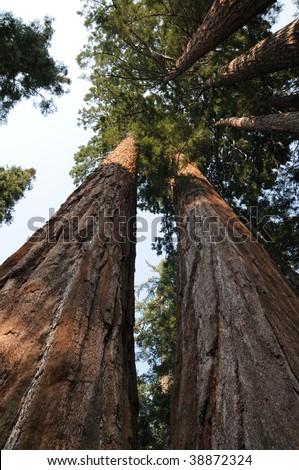 Giant Sequoia, National Park, California, USA - stock photo