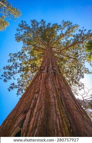 Giant sequoia tree in Yosemite National Park, California, USA.  Looking up. - stock photo
