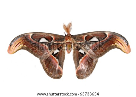 giant silkworm moth Attacus atlas isolated in white - stock photo