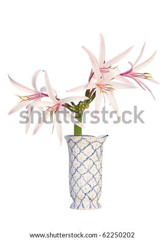 Giant Spider Lily in a flower vase isolated on white - stock photo