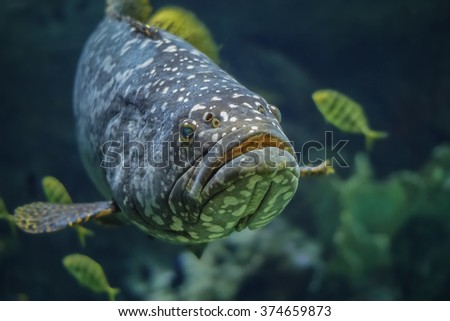 Giant spotted grouper fish at an aquarium - stock photo