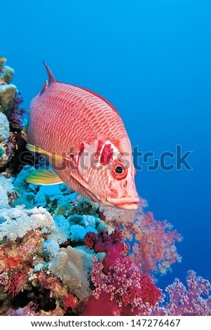 Giant squirrelfish, Sargocentron spiniferum over blue ocean space for your text   - stock photo