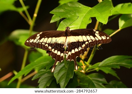 Giant Swallowtail butterfly spreads its wings in the gardens. - stock photo