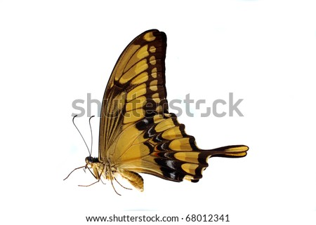 Giant Swallowtail (Heraclides thoras) in a natural position - stock photo