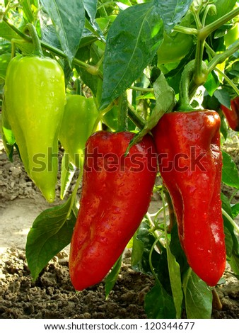 giant sweet peppers ripening on a plant - stock photo