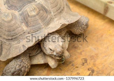 Giant tortoise chewing grass - stock photo