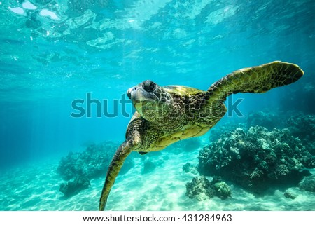 Giant tortoise close-up swims underwater ocean background of corals - stock photo