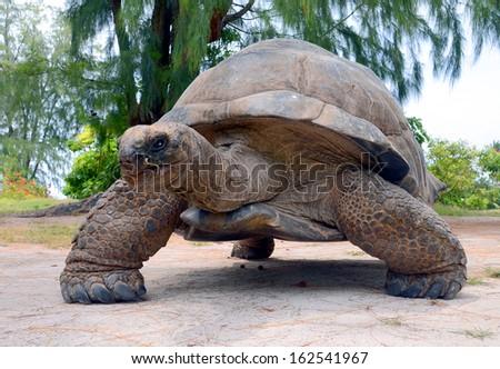 Giant tortoise (Geochelone gigantea). Bird Island, Seychelles. - stock photo
