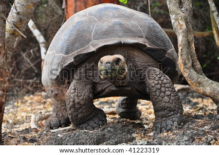 Giant tortoise walking galapagos island - stock photo