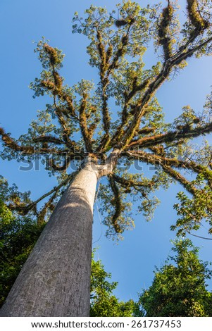 Giant Tree at Tikal Mayan Ruins, Traveling through Guatemala. - stock photo