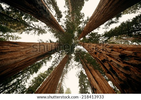 Giant tree closeup in Sequoia National Park - stock photo