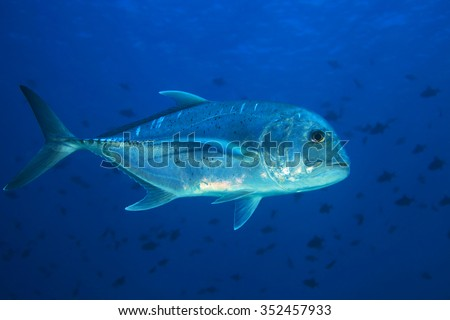 Giant trevally (Caranx ignobilis) in tropical waters of the indian ocean  - stock photo