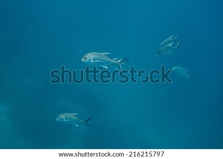 Giant trevally in ocean - stock photo