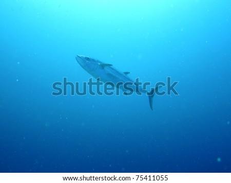Giant tuna fish - stock photo