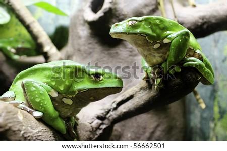 giant Waxy Monkey Tree Frog - stock photo