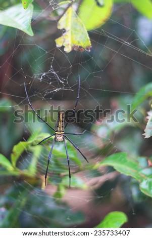 Giant wood spider, golden silk orb-weaver or banana spider - stock photo