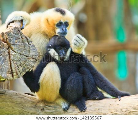 Gibbon - stock photo