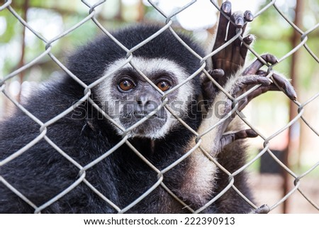 gibbon behind the Cage in the park - stock photo
