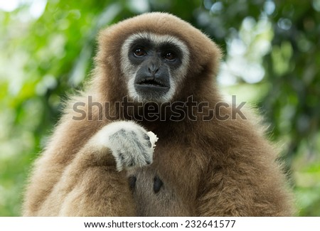 gibbon close- up face in zoo - stock photo