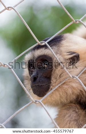 Gibbon in zoo cage, Beauty and loveliness of Gibbons - stock photo