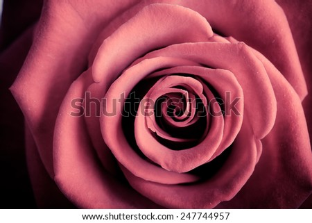 Gift for special occasion. Closeup of beautiful blossoming red rose flower as love or nature background - stock photo